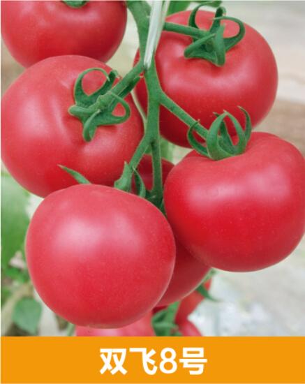 国产bt双飞_供应双飞8号—抗ty番茄种子