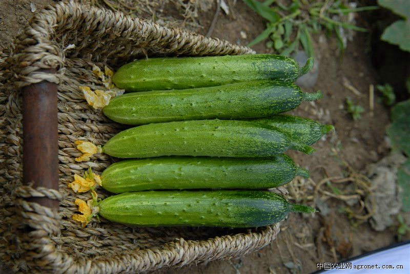 求购绿金条—黄瓜种子