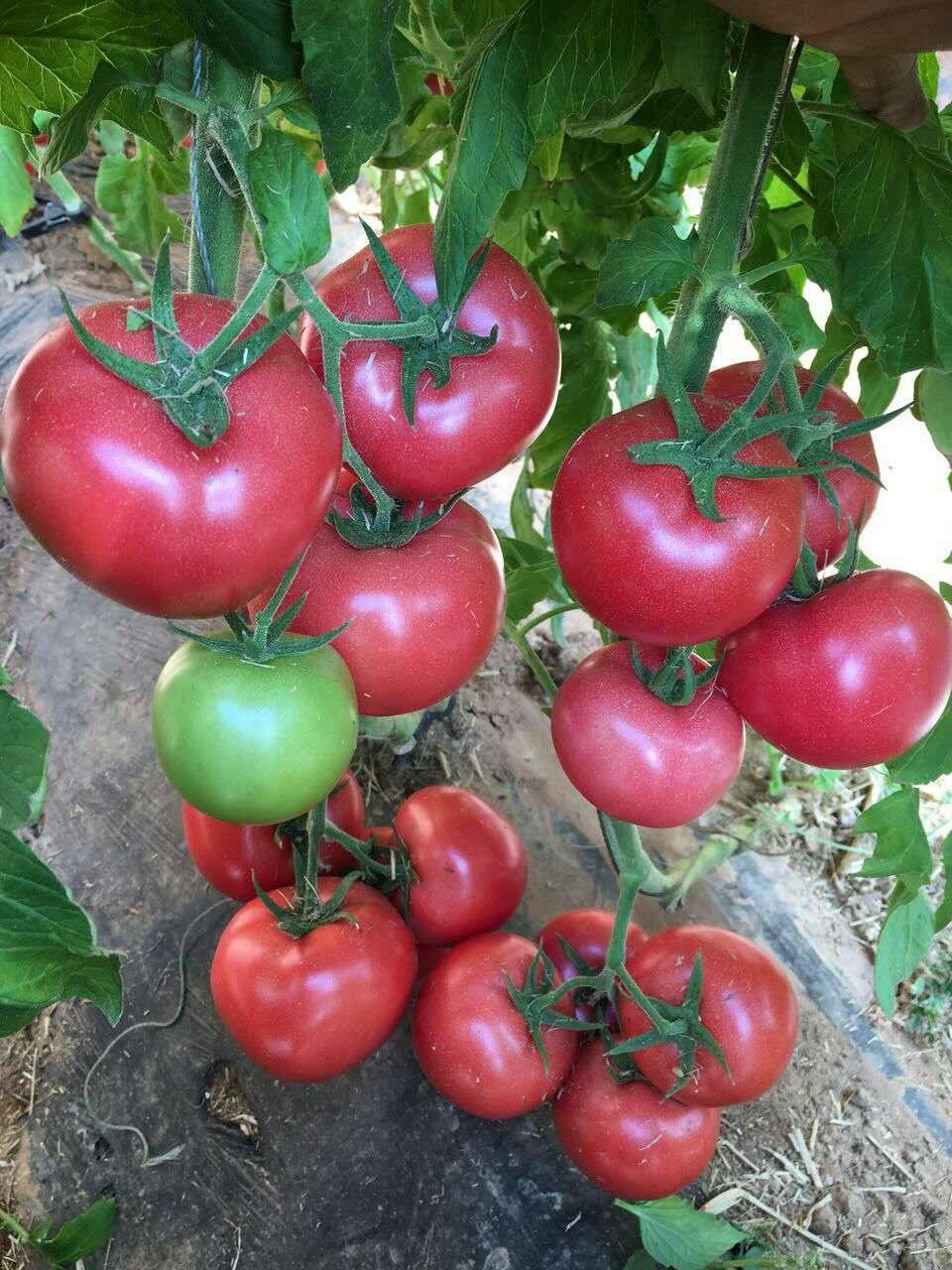 供应抗TY病毒--妞盾番茄种苗