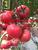 夏宝路抗TY耐热粉果番茄