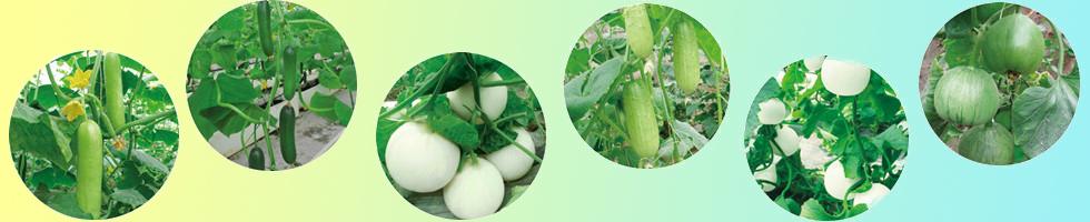 唐山农业科学研究院蔬菜研究所