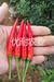 泰椒1102——辣椒种子