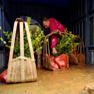 油茶种苗,安徽嫁接油茶树苗