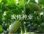 水果黃瓜種子
