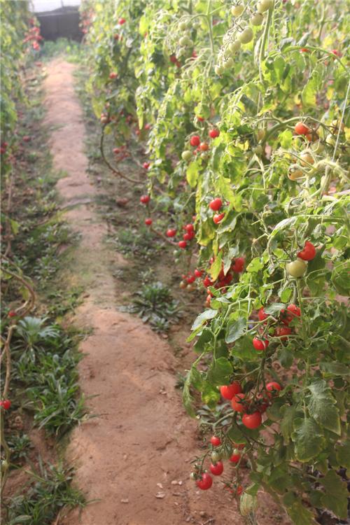 西红柿播种种植步骤