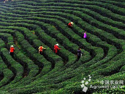 贺州昭平茶农采摘首批春茶(图),农业资讯,中国农业网