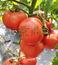 鼎丰603番茄种子