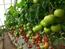 润禾1号——番茄种子