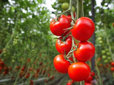 智能温室大棚番茄种植