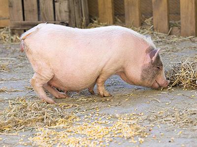 河南高度重视非洲猪瘟的严峻形势 安阳落实防控措施