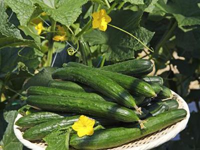 为什么有机肥要与化学肥料配施呢?