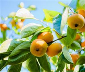 甜柿新品种推广突破砧木难关