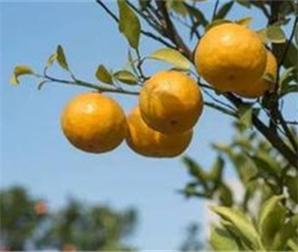 广西来宾:柑橘产业凸显科技范儿