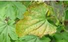 苦瓜细菌性角斑病的防治