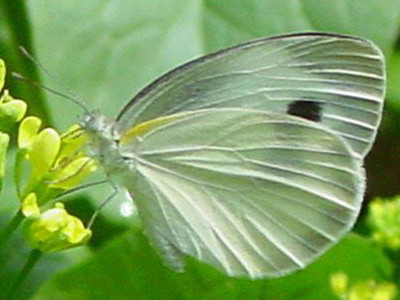 芥蓝菜白蝶的防治