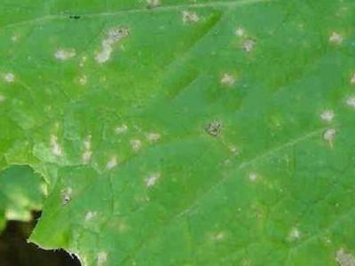 芥蓝细菌黑斑病的防治