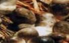 草菇死菇病