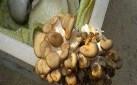 平菇銹斑病