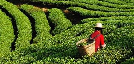 安徽:沼肥进茶园效益高一截