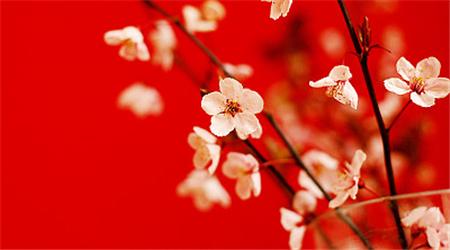 贵州荔波近两万亩野生梅花进入盛花期