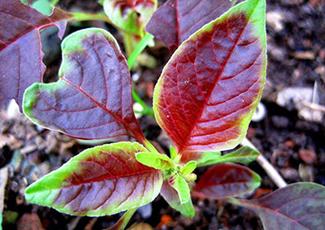 中国茎叶类蔬菜有序收获技术达国际领先水平