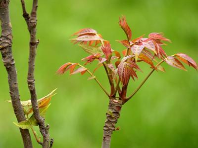 图说过气最快的网红:香椿