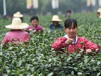 浙江長興:10萬采茶工涌入小鎮