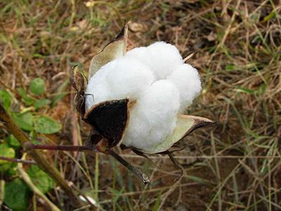 棉花所揭示棉花开花调控新机制