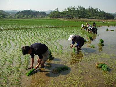 金华义乌:农旅融合 欢乐插秧