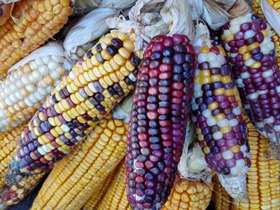 圖說彩色玉米