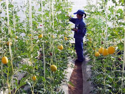 四川:发展规模蔬菜为群众增收