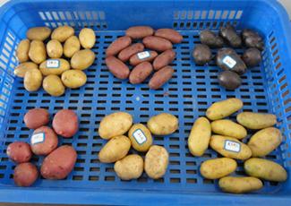 西安:彩色馬鈴薯有顏又有值